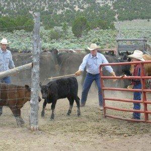 Cow Boy aux États-Unis 2