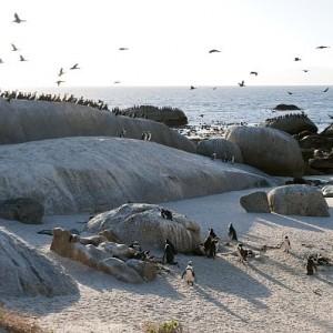 2- Le Cap – pinguoins boulders – © 2013 South African Tourism (1)