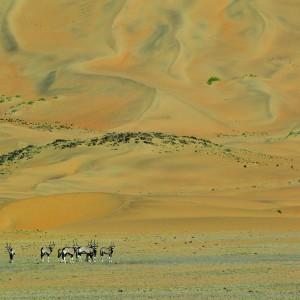 Herd of Gemsbok