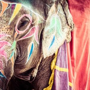 INDE ELEPHANT Copyright  Curioso