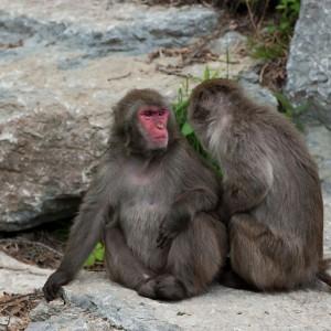 Macaque japonais Zoo St Felicien_©TourismeSagLac