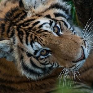 Tigre de l'Amour_Zoo St Felicien_©TourismeSagLac