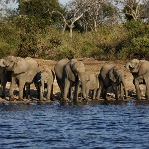 BOTSWANA SAFARI ELEPHANT (2)