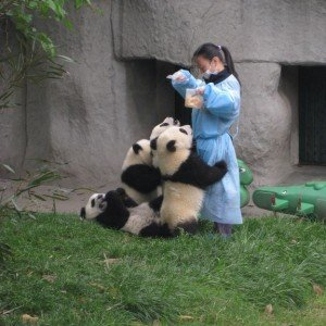 Chengdu Giant Panda Breeding Research Centre (2)