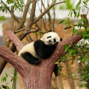 Chine Panda geant –  Copyright  silver-john