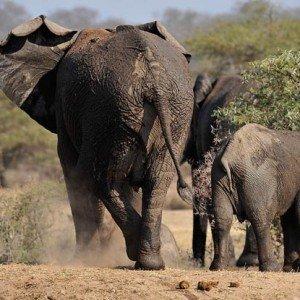 elephants_1