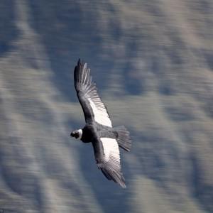 Colca-Condor