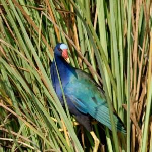 Everglades-National-Park-Exotic-Bird-CU
