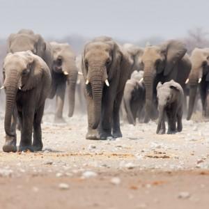 NAMIBIE ETOSHA ELEPHANT shutterstock_43001557  Copyright Johan Swanepoel