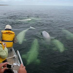 Beluga_Whale©Lazy Bear Lodge_CCT