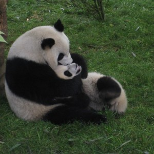 Chengdu Giant Panda Breeding Research Centre (1)