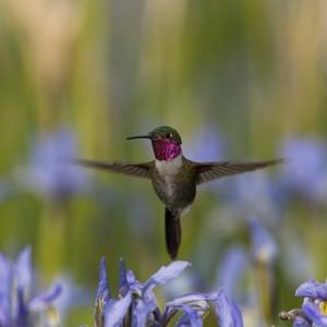 Broad-tailed hummingbird in iris patch