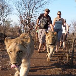 marche avec les lions (1)