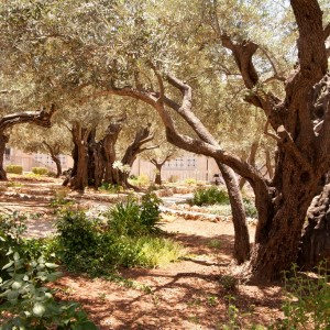 JERUSALEM_Oliviers©Israeli Ministry of Tourism_Noam Chen