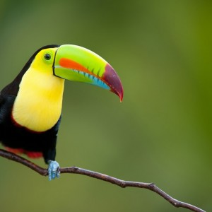 TOUCAN COSTA RICA PARC NATIONAL ©Eduardo Rivero